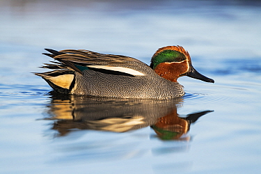 Eurasian teal (Anas crecca) male, reflected in water. Pasvik, Norway. May.