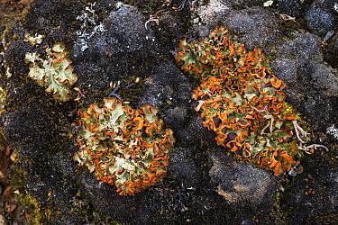 Chocolate chip lichen (Solorina crocea) on stone. Jotunheimen National Park, Norway, July.