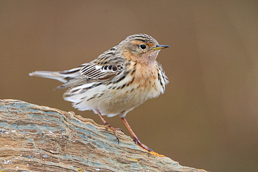 Red-throated pipit (Anthus cervinus). Varanger, Norway.
