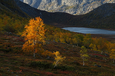 Woodland and scattered Birch (Betula sp) trees beside Nedre Leirungen lake in mountains, in autumn. Valdresflye, Jotunheimen National Park, Norway. September 2020.