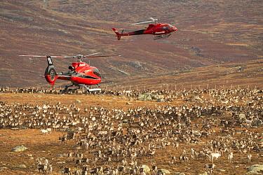 Domesticated reindeer (Rangifer tarandus) herded into enclosure by helicopters. Valdresflya, Jotunheimen, Norway, September 2020.