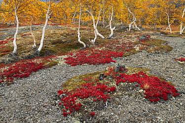 Alpine bearberry (Arctous alpina) with Birch (Betula sp) trees in background. Jotunheimen National Park, Norway. September 2020.