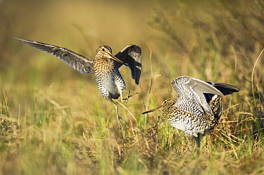 Great snipe (Gallinago media), two males fighting on edge of their territories. Roros, Norway, May.