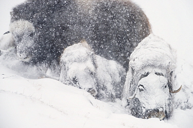 Muskox (Ovibos moschatus) group resting in snowstorm. Dovrefjell-Sunndalsfjella National Park, Norway. February.