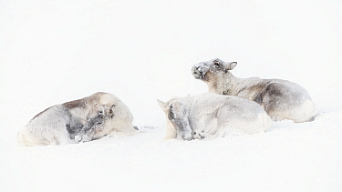 Wild reindeer (Rangifer tarandus), three males lying in snow. Forollhogna National Park, Norway, January.