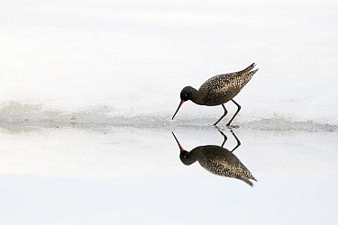 Spotted redshank (Tringa erythropus) wading, reflected in water. Pasvik, Norway. May