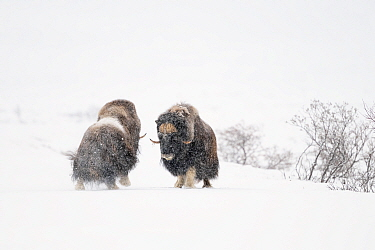 Muskox (Ovibos moschatus), two males fighting in snow. Dovrefjell-Sunndalsfjella National Park, Norway. December.