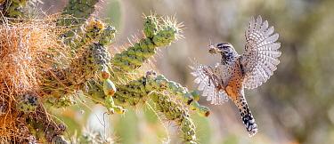 Cactus wren (Campylorhynchus brunneicapillus) nest building on Chain cholla cactus (Opuntia fulgida), in flight with nesting material in beak. Arizona, USA.