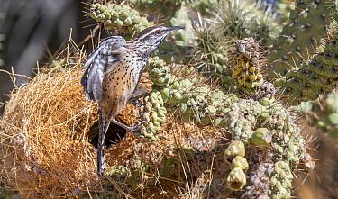 Cactus wren (Campylorhynchus brunneicapillus) emerging from nest in Chain cholla cactus (Opuntia fulgida). Sonoran Desert, Arizona, USA.