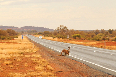 Red kangaroo (Macropus rufus), two at roadside drinking water from puddles on road, a behaviour that results in collisions with vehicles. Northern Territory, Australia. 2008.