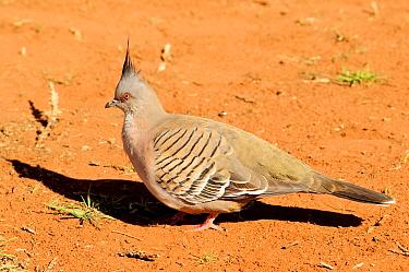 Crested pigeon (Ocyphaps lophotes). Watarrka National Park, Northern Territory, Austrlia.