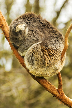 Koala (Phascolarctos cinereus) sleeping in tree fork. Phillip Island, Victoria, Australia. Captive.