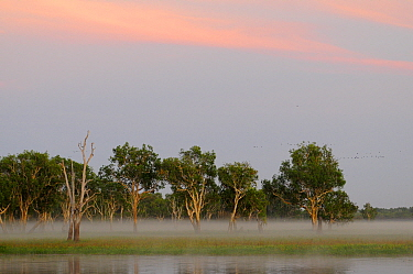 Eucalypt (Eucalypteae) trees at edge of lagoon in morning mist, flock of birds in sky. Kakadu National Park, Northern Territory, Australia. 2008.