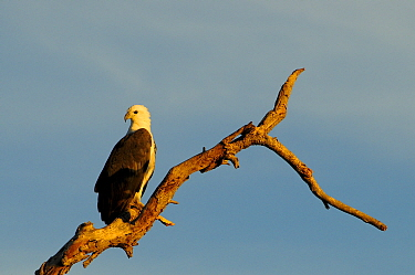 White-bellied sea-eagle (Haliaeetus leucogaster) perched on branch in morning light. Kakadu National Park, Northern Territory, Australia.