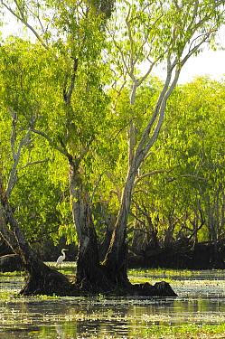 Great white egret (Ardea alba) amongst Eucalypt (Eucalypteae) trees in lagoon. Kakadu National Park, Northern Territory, Australia.