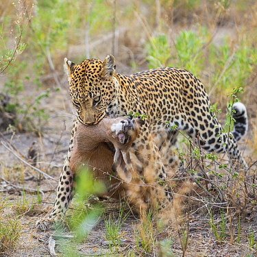 Leopard (Panthera pardus) adult female dragging carcass of kudu calf, Jao Reserve, Okavango, Botswana