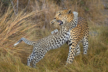 Leopard (Panthera pardus) cub age four months playing with mother, Jao Reserve, Okavango, Botswana
