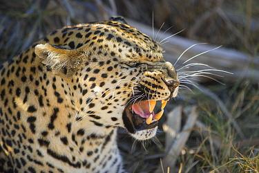 Leopard (Panthera pardus) adult female growling at cub, Jao Reserve, Okavango, Botswana