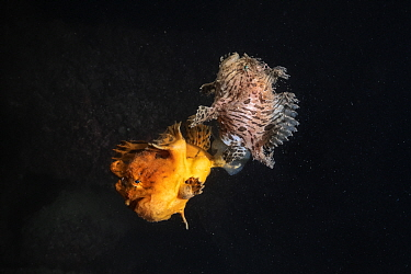 Hairy frogfish (Antennarius striatus) pair, female spawning, releasing egg raft. Ariake Sea, Japan.