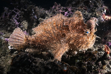Hairy frogfish (Antennarius striatus) male resting, lump on head and abdomen resulting from infection by Parasitic copepod (Sarcotaces pacificus). The female parasite resides within the lump where she...
