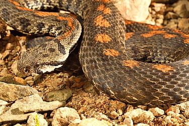 Caucasus viper (Montivipera raddei raddei) captive, from Eastern Turkey.