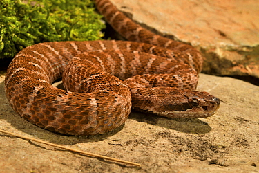 Asia pitviper (Gloydius intermedius saxatilis) captive, occurs in China, Russia and Korea.