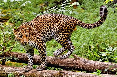 Javan leopard (Panthera pardus melas) captive, endemic to Java. Endemic. Critically endangered species.