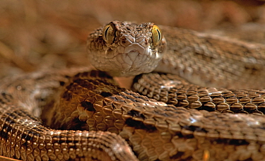 Sochureks's saw-scaled viper (Echis sochureki) captive, occurs in India.