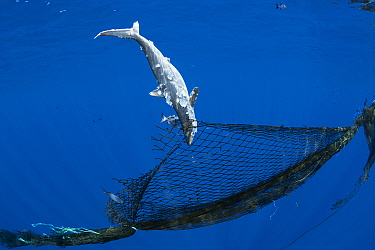 Dead juvenile Silky shark (Carcharhinus falciformis) entangled in a derelict fishing net (ghost net ) attached to a homemade FAD ( fish aggregating device), off the Kona Coast, Hawaii.