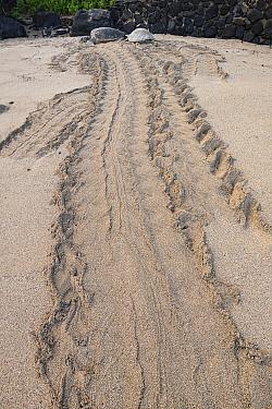 Flipper tracks lead from the ocean up to a pair of Green sea turtles (Chelonia mydas) basking on sand beach, Kahana, West Maui, Hawaii.