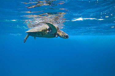 Green sea turtle (Chelonia mydas) suffering from fibropapilloma tumors, caused by a herpes virus, Black Rock, Ka'anapali, West Maui, Hawaii.