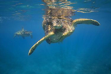 Green sea turtles (Chelonia mydas) mating pair is circled by a second mature male, near Mala Wharf, West Maui, Hawaii.