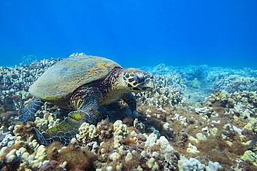 Hawksbill sea turtle (Eretmochelys imbricata) endangered Species ), foraging on coral reef, off Kahekili Beach Park, Ka'anapali, West Maui, Hawaii.  A saddle wrasse (Thalassoma duperrey) next to...