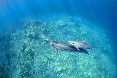Hawaiian spinner dolphins (Stenella longirostris longirostris), mother and calf, South Kohala Coast, Hawaii.