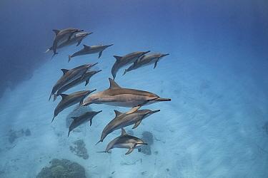 Hawaiian spinner dolphins (Stenella longirostris longirostris), North Kona, Hawaii.