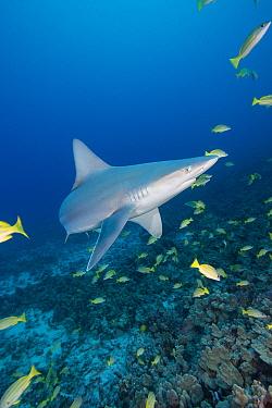 Sandbar shark (Carcharhinus plumbeus), and bluestripe snapper or taape, Lutjanus kasmira, Honokohau, North Kona, Hawaii