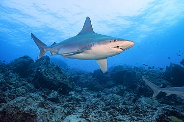 Sandbar shark (Carcharhinus plumbeus), with parasitic copepods on snout and behind eye, Honokohau, North Kona, Hawaii