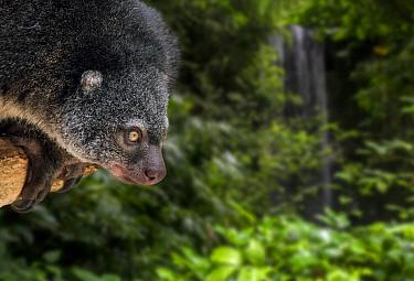 Sulawesi bear cuscus / phalanger (Ailurops/ Phalanger ursinus ) arboreal marsupial endemic to Sulawesi, Indonesia. Captive. Digital composite