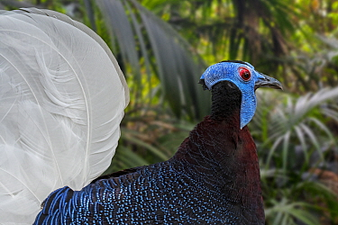 DELETE Bulwer's pheasant (Lophura bulweri) male, endemic to the forests of Borneo. Captive. Digital composite