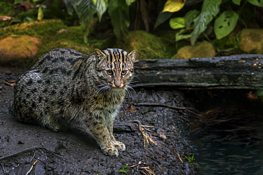 Fishing cat (Prionailurus viverrinus) hunting along river bank, medium-sized wild cat / feline occurs in South and Southeast Asia. Captive