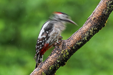 Great spotted woodpecker / greater spotted woodpecker (Dendrocopos major) male hammering / drumming on branch in forest in the rain, Belgium. July