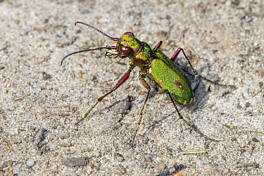 Green tiger beetle (Cicindela campestris) sunning on dry sand in heathland, Belgium. August