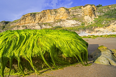 Clump of Enteromorpha / Ulva species of the green algae Gutweed (Ulvaceae) growing on rock on the beach at low tide, Normandy, France. August 2020