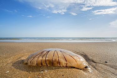 Compass jellyfish (Chrysaora hysoscella) washed ashore on sandy beach along the North Sea coast, Normany, France. August