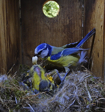 Blue Tit, (Cyanistes caeruleus) adult collecting faecal sac while tending family inside nest box in garden Norfolk, UK. Small repro only.