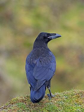 Raven (Corvus corax) Shetland, Scotland, UK, June.