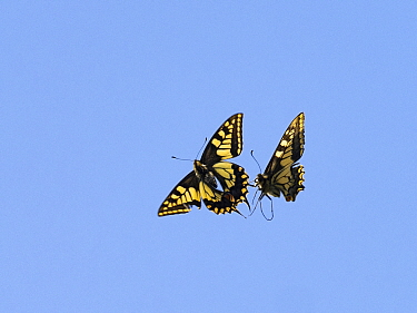 Swallowtail butterfly (Papilio machaon) two fighting, Norfolk Broads, England, UK, June