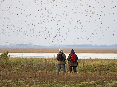 People watching the spectacular high tide Knot (Calidris canutus) roost on the Wash at Snettisham RSPB Reserve in Norfolk, England, UK, October.