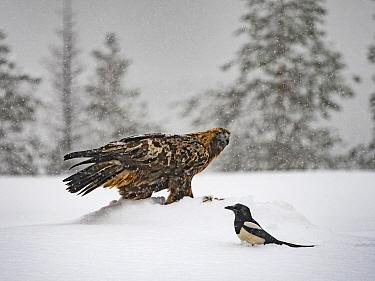 Golden eagle (Aquila chrysaetos) and Magpie (Pica pica )in snow, Kuusamo, Finland, January.