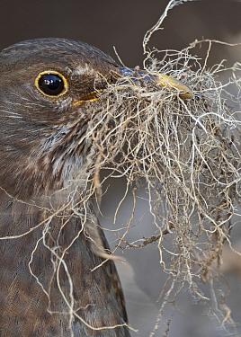 Blackbird, (Turdus merula), female collecting nest material in garden Norfolk spring